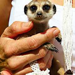 Meet the Meerkats for One Gift Experience